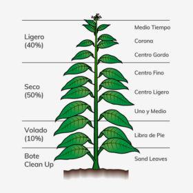 Différentes parties de la plante de tabac